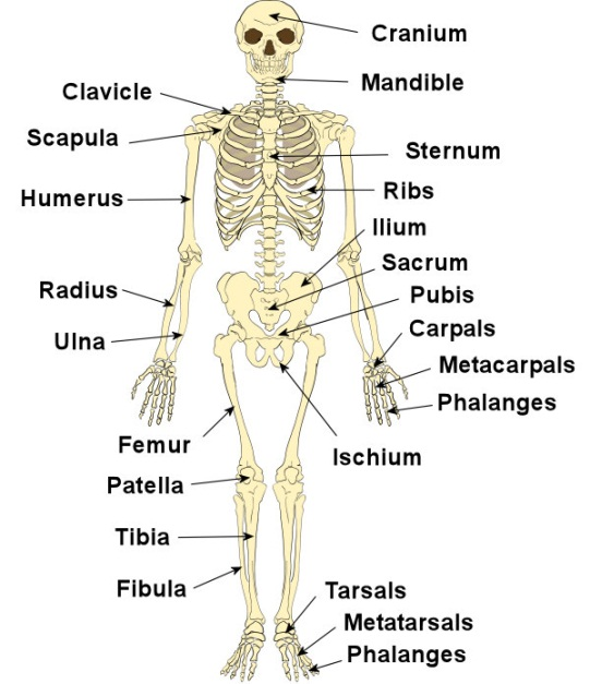 Functions of Human Skeletal System | Just-Health.net